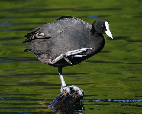 Australian coot. Adult on rock. Wanganui, January 2006. Image © Ormond Torr by Ormond Torr