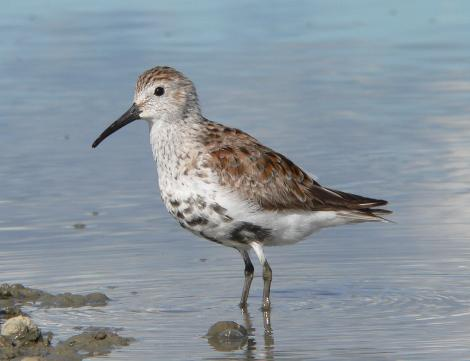 Dunlin. Overwintering bird moulting into breeding plumage. Manukau Harbour, April 2006. Image © Phil Battley by Phil Battley