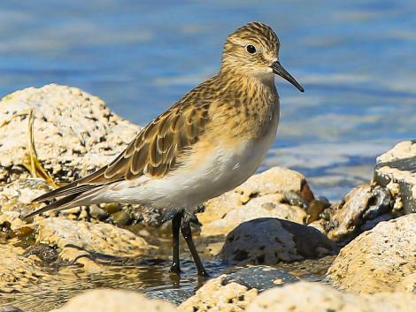 Baird's sandpiper. Adult. Lago Cardiel, Patagonia, December 2015. Image © Dick Jenkin by Dick Jenkin   www.jenkinphotography.com.au