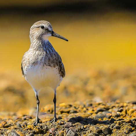 White-rumped sandpiper. Adult non-breeding. Punta Tombo, Patagonia, December 2015. Image © Dick Jenkin by Dick Jenkin  www.jenkinphotography.com.au
