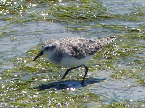 Little stint. Adult in non-breeding plumage. West Coast National Park, South Africa, November 2015. Image © Alan Tennyson by Alan Tennyson