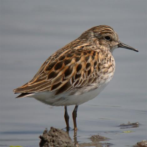 Long-toed stint. Adult breeding plumage. Japan, April 2009. Image © Nobuhiro Hashimoto by Nobuhiro Hashimoto http://shorebirds.exblog.jp