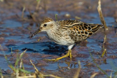 Long-toed stint. Adult in breeding plumage. Tolderol Game Reserve, South Australia, April 2019. Image © David Newell 2019 birdlifephotography.org.au by David Newell