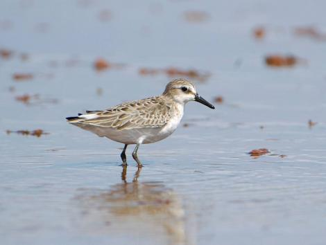 Semipalmated sandpiper. Non-breeding adult. Hawai`i - Island of Kaua`i, September 2006. Image © Jim Denny by Jim Denny
