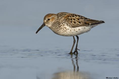 Western sandpiper. Adult breeding. Ocean Shores, Washington, USA, May 2015. Image © Michael Ashbee by Michael Ashbee C/O Michael Ashbee www.mikeashbeephotography.com