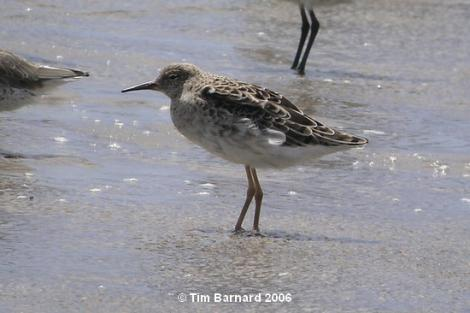 Ruff. Non-breeding plumage. Maketu estuary, January 2006. Image © Tim Barnard by Tim Barnard