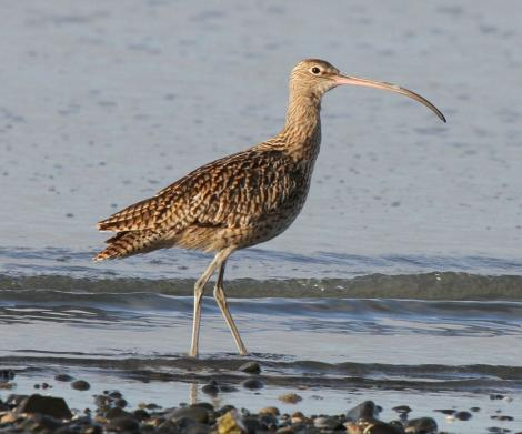 Eastern curlew. Adult (possibly immature). Miranda, June 2010. Image © Duncan Watson by Duncan Watson