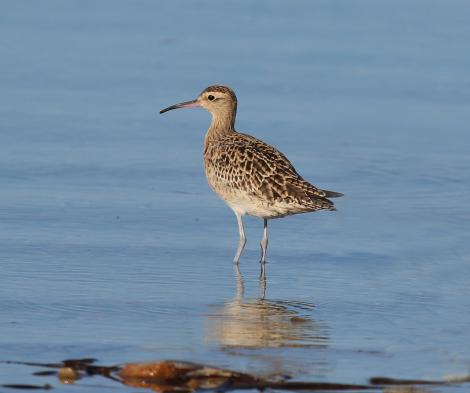 Little whimbrel. Adult, non-breeding. Bald Hills Beach, Port Wakefield, South Australia, March 2017. Image © John Fennell by John Fennell
