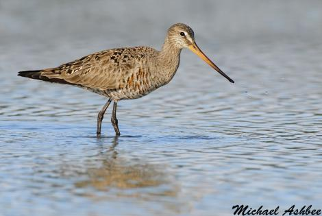 Hudsonian godwit. Adult female in partial breeding plumage. Parksville, British Columbia, Canada, May 2011. Image © Mike Ashbee by Mike Ashbee Courtesy of http://www.mikeashbeephotography.com