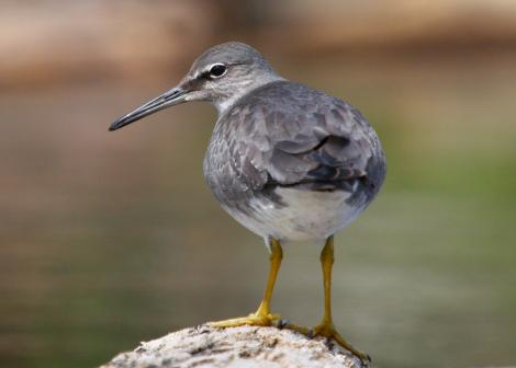 Wandering tattler. Adult, non-breeding. Waitarere Beach, October 2010. Image © Craig Steed by Craig Steed