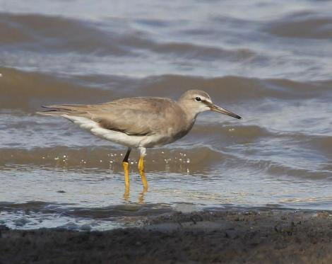 Grey-tailed tattler. Adult, non-breeding. Port Stephens, New South Wales, Australia, January 2014. Image © Brook Whylie by Brook Whylie www.sossa-international.org