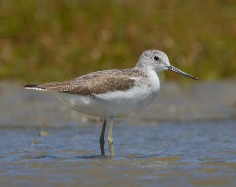 Common greenshank. Non-breeding adult. Manawatu River estuary, January 2013. Image © Phil Battley by Phil Battley