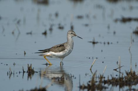 Lesser yellowlegs. Adult non-breeding. Illinois, October 2009. Image © Jim Denny by Jim Denny http://www.kauaibirds.comhttp://www.flickr.com/photos/hawaiibirds/