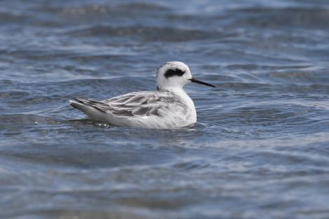 Red-necked phalarope. Non-breeding adult. Lake Grassmere, February 2007. Image © John Barkla by John Barkla