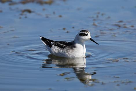 Red-necked phalarope. Nonbreeding adult. Pillar Point Harbor, August 2012. Image © Jason Crotty by Jason Crotty via Flickr, 2.0 Generic (CC BY 2.0)