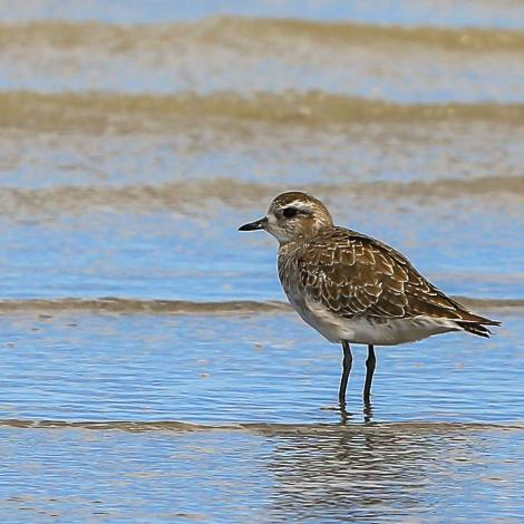 American golden plover. Adult non-breeding. Punta Rasa, Argentina, December 2015. Image © Dick Jenkin by Dick Jenkin   www.jenkinphotography.com.au