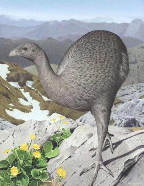 Upland moa. Upland moa (Megalapteryx didinus). Image 2006-0010-1/16 from the series 'Extinct birds of New Zealand'. Masterton. Image © Purchased 2006. © Te Papa by Paul Martinson See Te Papa website: http://collections.tepapa.govt.nz/objectdetails.aspx?irn=710913&term=upland+moa