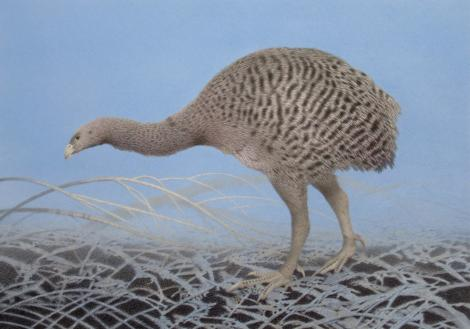 Upland moa. Adult. 700x490 mm watercolour pencil prestudy for Moa series. , September 2018. Image © Paul Martinson by Paul Martinson https://www.sanderson.co.nz/Artist/139/Paul-Martinson.aspx
