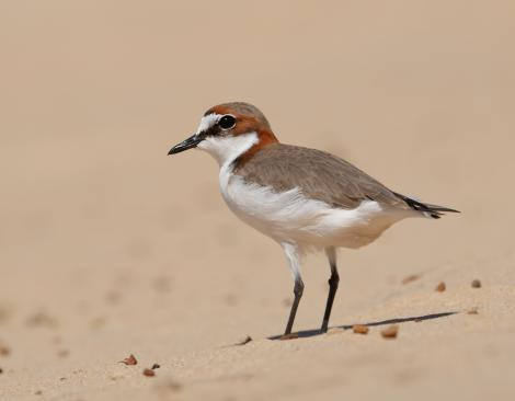 Red-capped plover. Adult male. Carlo Sandblow, Rainbow Beach, Queensland, August 2017. Image © Glenn Pure 2017 birdlifephotography.org.au by Glenn Pure