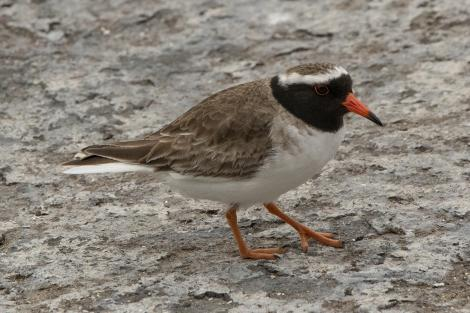 Shore plover. Adult male. Rangatira Island, Chatham Islands, October 2020. Image © James Russell by James Russell