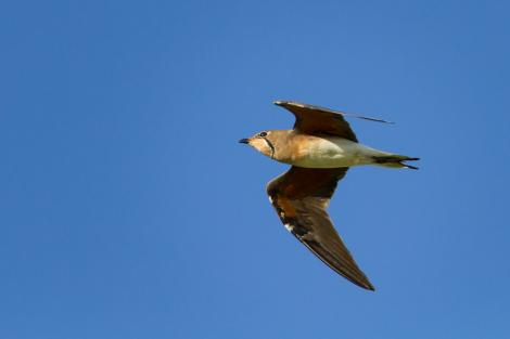 Oriental pratincole. Side view in flight. Broome, Western Australia, January 2015. Image © Ric Else by Ric Else