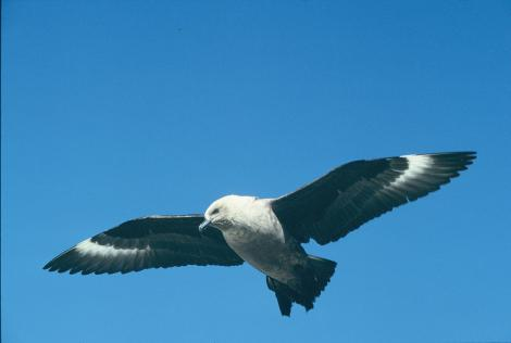 South Polar skua. Adult in flight. Hop Island, Prydz Bay, Antarctica, December 1989. Image © Colin Miskelly by Colin Miskelly