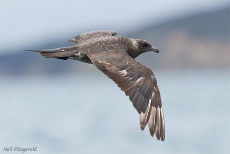 Arctic skua. Adult in flight. Hauraki Gulf, November 2011. Image © Neil Fitzgerald by Neil Fitzgerald Neil Fitzgerald: www.neilfitzgeraldphoto.co.nz
