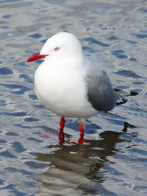Red-billed gull. Adult. Waikanae River estuary, Wellington, September 2010. Image © Alan Tennyson by Alan Tennyson