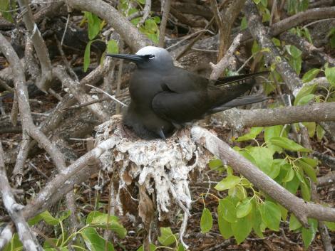 Black noddy. Adult and nestling on nest. Wilson Island, Capricorn Cays, January 2013. Image © Dean Portelli by Dean Portelli