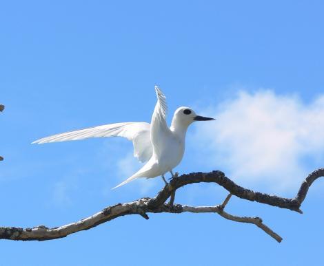 White tern. Adult. Ducie Atoll, December 2012. Image © Tony Crocker by Tony Crocker