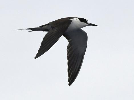 Sooty tern. Adult in flight. Meyer Islands (Kermadecs), March 2021. Image © Scott Brooks (ourspot) by Scott Brooks