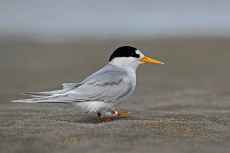 Fairy tern. Adult breeding plumage. Pakiri Beach, October 2012. Image © Glenda Rees by Glenda Rees http://www.flickr.com/photos/nzsamphotofanatic/