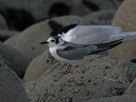 White-winged black tern. Non-breeding bird in front of white-fronted tern. Nelson Boulder Bank, December 2015. Image © Craig Martin by Craig Martin