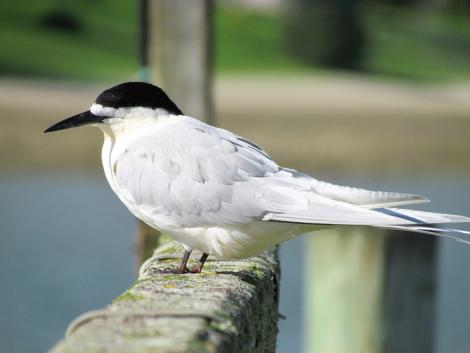 White-fronted tern. Adult. Pahi, August 2012. Image © Thomas Musson by Thomas Musson tomandelaine@xtra.co.nz