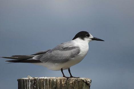 Common tern. Adult non-breeding. Ruawai, Northland, March 2015. Image © Thomas Musson by Thomas Musson