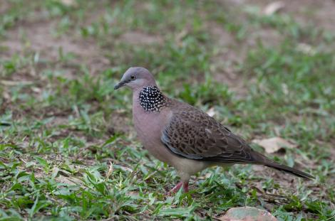 Spotted dove. Adult showing spots on neck. Sunshine Coast, Queensland, Australia, August 2010. Image © Sonja Ross by Sonja Ross