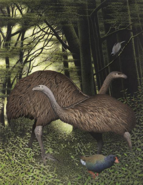 South Island giant moa. South Island giant moa (Dinornis robustus). Image 2006-0010-1/18 from the series 'Extinct birds of New Zealand'. Masterton. Image © Purchased 2006. © Te Papa by Paul Martinson See Te Papa website: http://collections.tepapa.govt.nz/objectdetails.aspx?irn=710917&term=South+Island+giant+moa