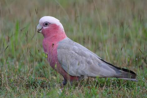 Galah. Male showing dark iris. Hervey Bay, Queensland, Australia, September 2010. Image © Tony Whitehead by Tony Whitehead www.wildlight.co.nz