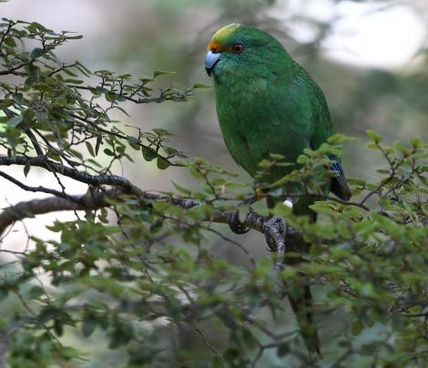 Orange-fronted parakeet. Adult. Hawdon Valley, Arthur's Pass, September 2017. Image © Ben Weatherley by Ben Weatherley