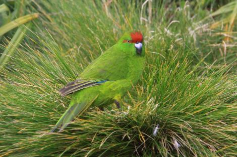 Reischek's parakeet. Adult on tussock. Antipodes Island, March 2009. Image © Mark Fraser by Mark Fraser