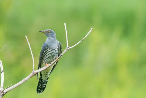 Oriental cuckoo. Adult male. Fogg Dam, Northern Territory, December 2016. Image © Mark Lethlean 2017 birdlifephotography.org.au by Mark Lethlean