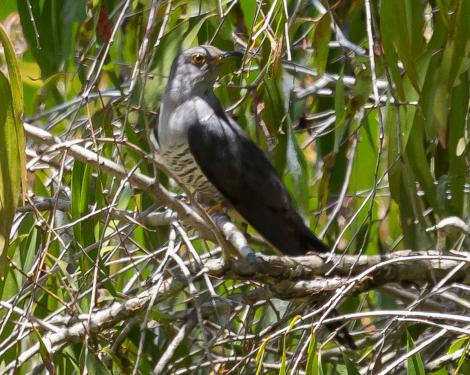Oriental cuckoo. Adult. Cattana Wetlands, Queensland, December 2016. Image © Imogen Warren by Imogen Warren