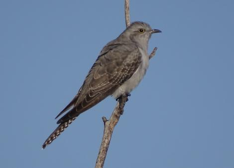 Pallid cuckoo. Adult, passage migrant. Canberra, September 2017. Image © R.M. by R.M.