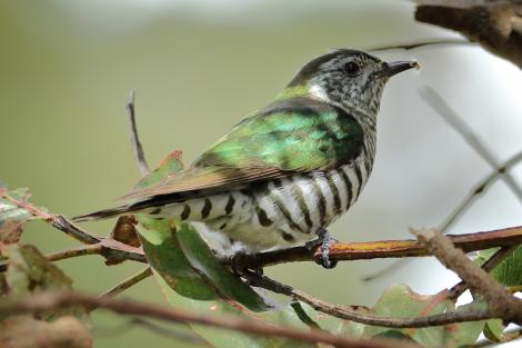 Shining cuckoo. Adult feeding on gum leaf skeletoniser (Uraba lugens) caterpillar from gum tree. Mapua, Tasman district, October 2016. Image © Rob Lynch by Rob Lynch