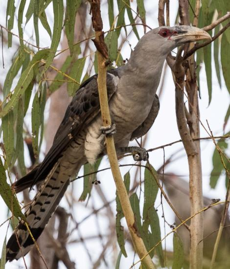 Channel-billed cuckoo. Adult. Granite Gorge, Queensland, December 2016. Image © Imogen Warren by Imogen Warren