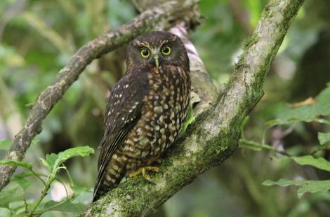 Morepork. Adult. Blowhard Bush, Hawke's Bay, December 2012. Image © Adam Clarke by Adam Clarke