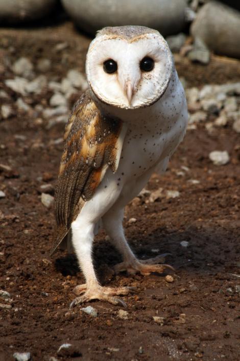 Barn owl. Adult female. Wingspan Birds of Prey Centre,  Rotorua, December 2008. Image © Andrew Thomas by Andrew Thomas