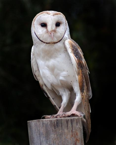 Barn owl. Adult. Adelaide Hills, South Australia, July 2006. Image © John Fennell by John Fennell