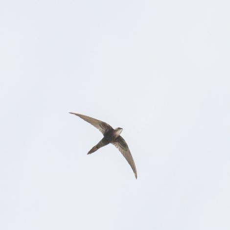 Fork-tailed swift. Adult in flight. Broome WA, October 2010. Image © Dick Jenkin by Dick Jenkin   www.jenkinphotography.com.au