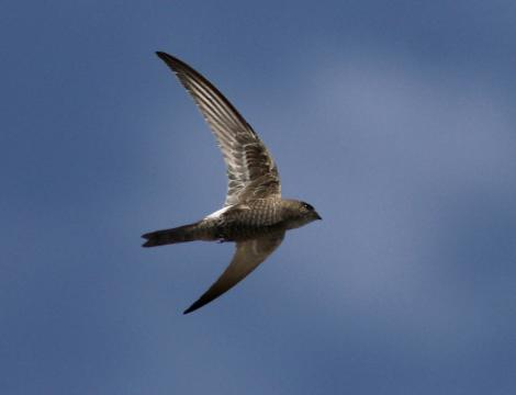 Fork-tailed swift. Adult in flight (ventral). Point Avoid, Eyre Peninsula, South Australia, February 2014. Image © John Fennell by John Fennell